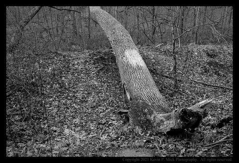 BW photograph of a fallen tree next to a trail.