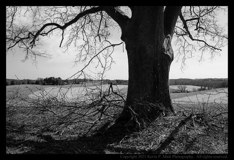 BW photograph of a large tree that has dropped some branches.