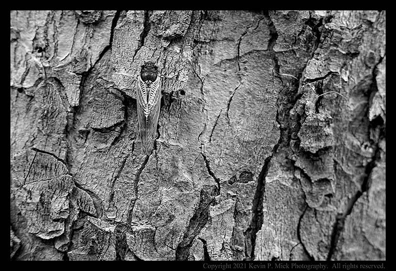 BW photograph of a mature cicada.
