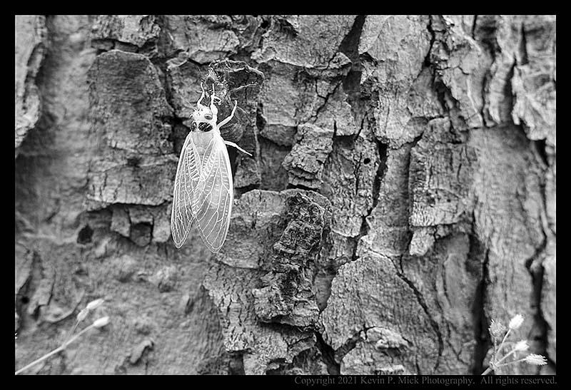 BW photograph of an immature cicada.