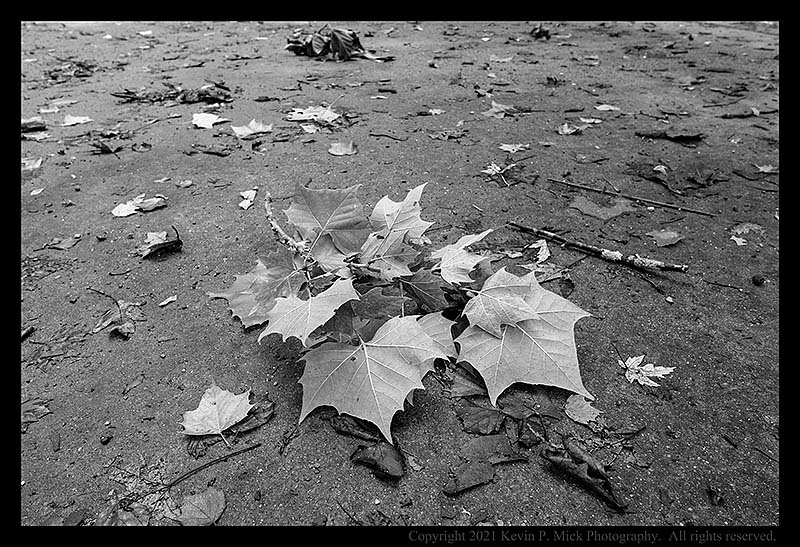 BW photograph of a branch of sycamore leaves dropped by Ida.