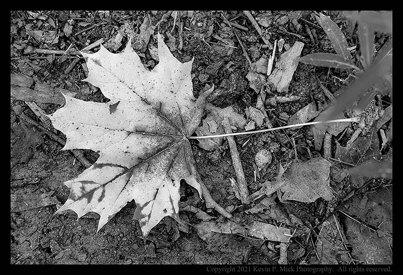 BW photograph of a downed maple leaf.