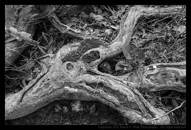 BW photograph of sycamore roots exposed due to erosion.
