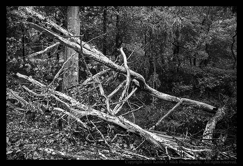 BW photograph of a large sycamore tree knocked down by the remnants of Hurricane Ida.